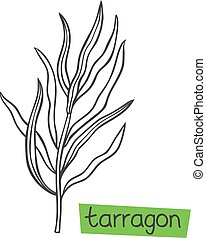 Tarragon hand drawn vector illustration. Culinary herbs. and...