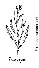 Tarragon ink sketch. Isolated on white background. Hand ...