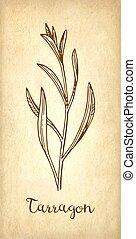 Tarragon ink sketch. - Tarragon ink sketch on old paper ...