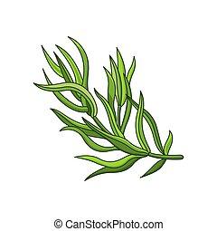 Tarragon spice vector realistic colored botanical ...