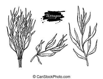 Tarragon vector hand drawn illustration set. Isolated spice obje
