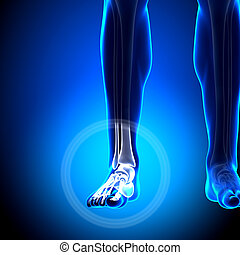 Tarsals / Phalanges - Ankle bones - Anatomy Bones