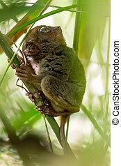 tarsier, filippijn
