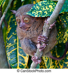 Tarsier on a tree