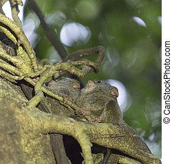 tarsius on a tree