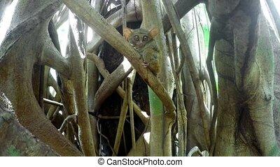 Tarsius spectrum,Tangkoko, North Sulawesi Indonesia - very...