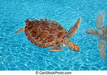 tartaruga, caraíbas, mydas chelonia, verde, mar