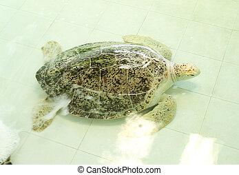 tartaruga, chelonia, verde, ou, mydas