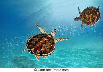tartaruga, conta, mergulho, falcões, baixo, mar