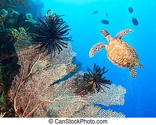 tartaruga, coral