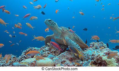tartaruga, coral, verde, mar, recife