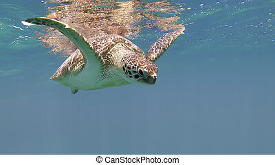 tartaruga, cute, mydas), (chelonia, verde, mar
