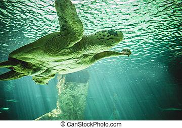 tartaruga, enorme, natação, mar, sob