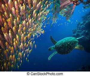 tartaruga hawksbill, (eretmochelys, mar, imbricata)