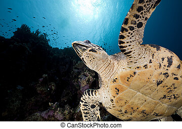 tartaruga, hawksbill, sea., vermelho