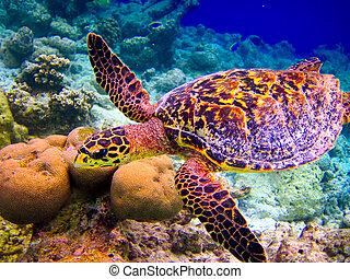 tartaruga hawksbill, swiming, semelhante, voando