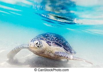 tartaruga, hikkaduwa, praia