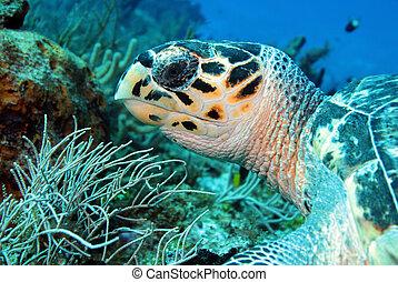 tartaruga, méxico, imbricata), cozumel, (eretmochelys, ...