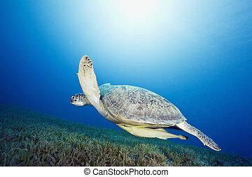 tartaruga, macho, verde