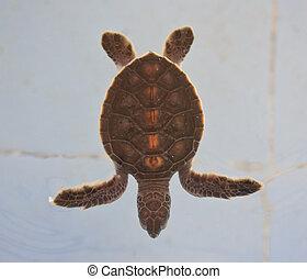 tartaruga mar, conservação, conservação, de, marinho,...