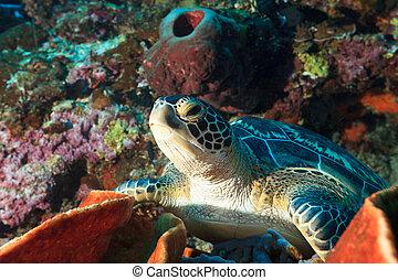 tartaruga, mar