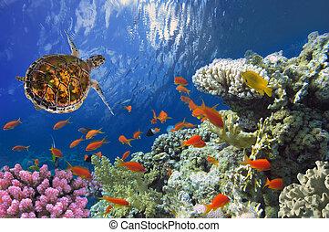tartaruga, mar, recife coral, hawksbill, vermelho