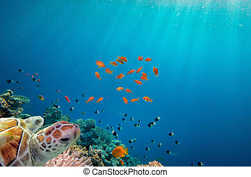 tartaruga, mar, recife coral, sobre, natação