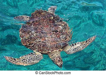 tartaruga, marinho
