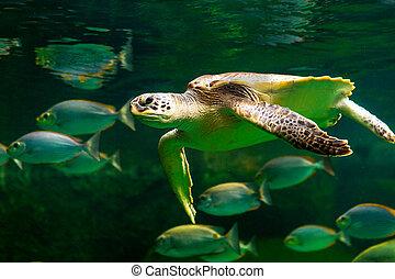tartaruga, museu, aquarium., verde, mar, natação