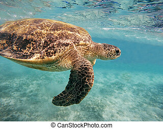 tartaruga, mydas), (chelonia, verde, adulto, mar