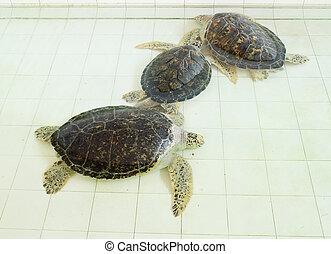 tartaruga, mydas chelonia, verde, lagoa, ou