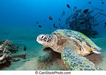 tartaruga, mydas), (chelonia, verde, sea., vermelho