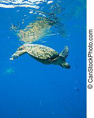 tartaruga, natação, verde, mar, oceânicos