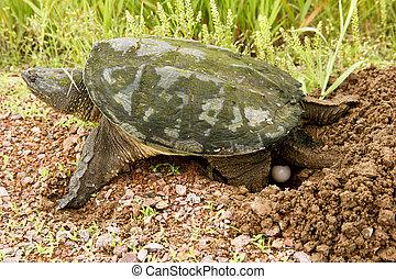 tartaruga, ovos, estalando