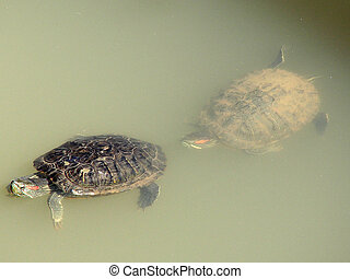 tartaruga, par