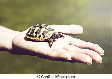 tartaruga, pequeno, palma, mão