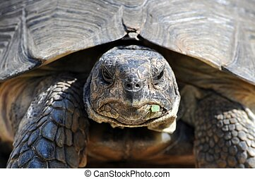 tartaruga, primo piano