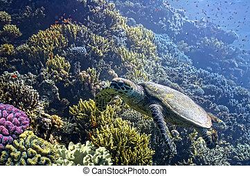 tartaruga, recife, sobre, hawksbill, mar, primitivo, glides, coral