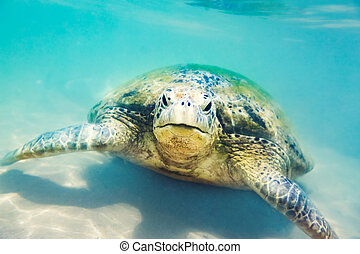 tartaruga, submarinas, praia, hikkaduwa, mar
