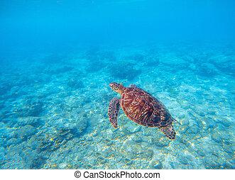 tartaruga, submarinas, tartaruga, coral, photo., verde, animal, water., azeitona, marinho, reef., mar