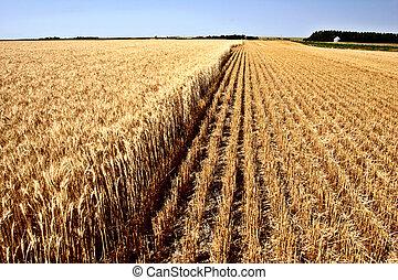 tarwe, gecombineerd, oogst, gedeeltelijk