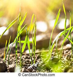 tarwe, germination, closeup