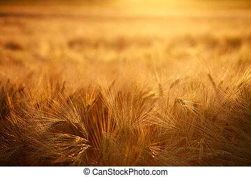 tarwe, licht, akker, closeup, achtergrond, ondergaande zon , oor
