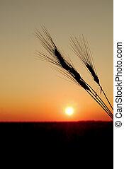 tarwe, ondergaande zon , oogsten, durum