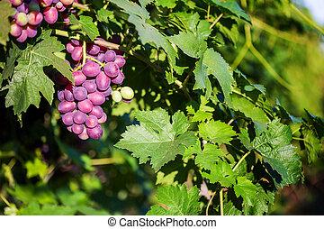 tas, vigne, raisins, soleil., rouges