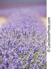 Tasmania Australia lavender field detail - Detail of Field...