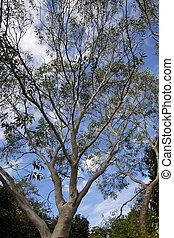 tasmanian, árbol, eucalipto