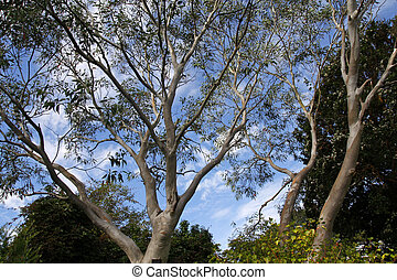 tasmanian, árboles, eucalipto