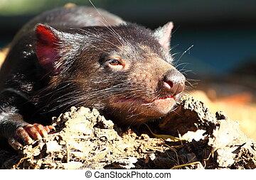 tasmanian, aus, diablo
