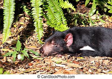 Tasmanian Devil basking in the Sun. Native Australian animal...